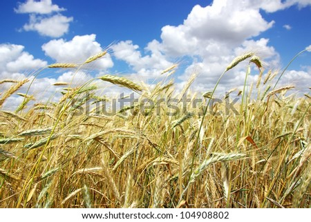 yellow spikes on wheat  field