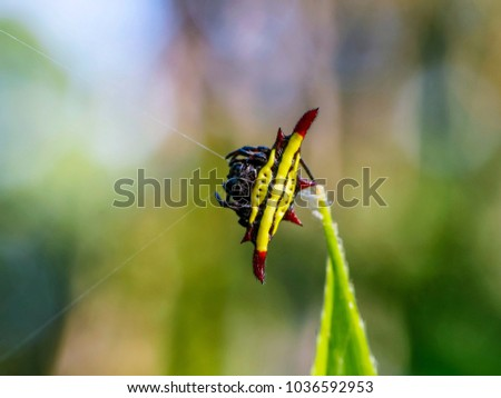 yellow spiny orb weaver spider spinning it's web, Spiny Orb Weaver Spiders #1036592953