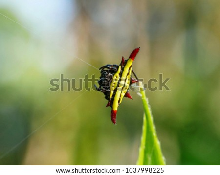 yellow spiny orb weaver spider spinning it's web, Spiny Orb Weaver Spiders #1037998225