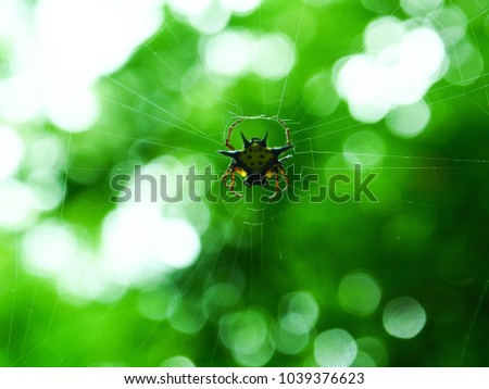 Yellow spiny orb weaver spider spinning it's web, Spiny Orb Weaver Spiders on green bokeh background.   #1039376623