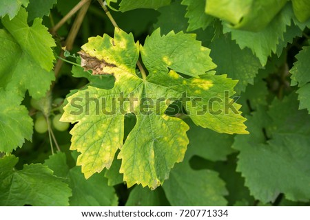 yellow spots on the leaves of the grape. Grapes disease #720771334