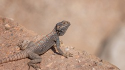 Yellow-spotted Agama, Trapelus flavimaculatus in desert in Jordan. Specie of agamid lizard of Middle East. Wild animals life. Close up