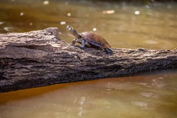 Yellow-spotted Amazon River Turtle (Podocnemis unifilis) basking on a log in the Peruvian Amazon