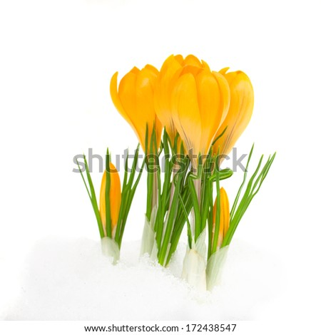 yellow  spring crocus flower coming from snow   isolated on white