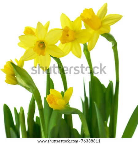 yellow spring daffodils on a white background