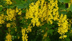 Yellow spring flower stock images. Yellow spring shrub. Blossoming yellow shrub. Spring floral decoration. Spring background concept. Laburnum anagyroides images