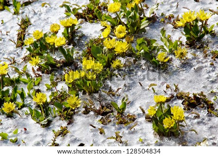 Yellow spring flowers close-up rising from the ice