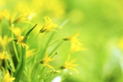 Yellow spring flowers macro close-up