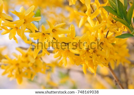 Yellow spring flowers on tree. Sunlight