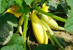 Yellow squash and plant in the farm field