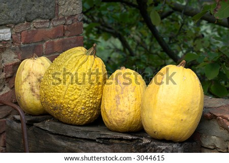 Yellow Squash on a wall in italy
