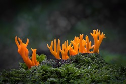 yellow stags horn fungus on woodland floor with moss