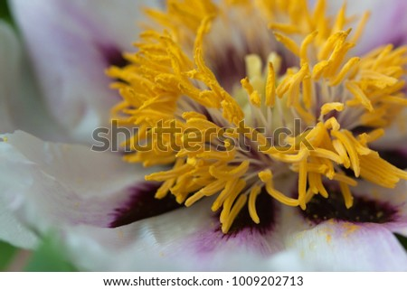 yellow stamens of a large peony flower macro photo #1009202713