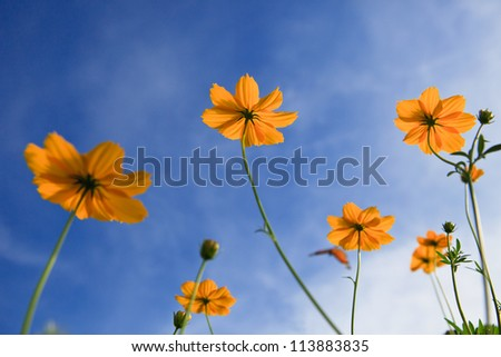 yellow star flowers and blue sky background use as nature scene