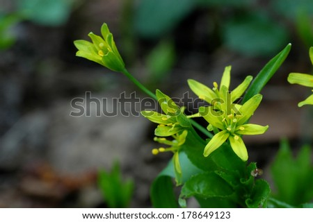 Yellow Star-of-Bethlehem in springtime close-up