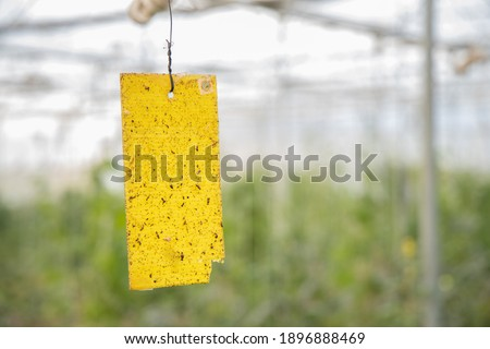 Yellow sticky card trap installed by farmer to control insects and pest in poly house or greenhouse, Eco-Friendly, organic farming concept. copy space, background. Stock photo ©