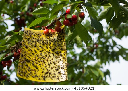 Yellow sticky fly paper with lots of flies trapped on it hanging on a cherry tree