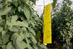 Yellow sticky whitefly trap with many flies caught on a tomato crop