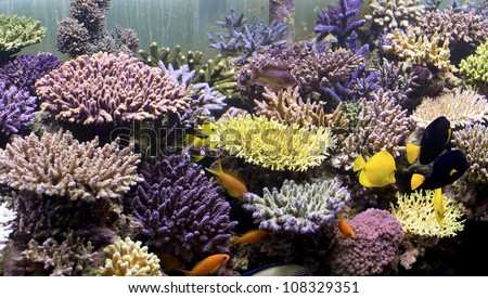 yellow stony coral
