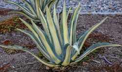 Yellow striped agave Americana century plant.
