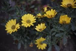 yellow sun bloomer close up