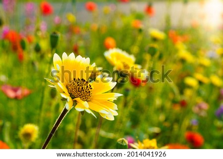 yellow sun hat flower in a colorful flower meadow in the morning light, yellow coneflower with red, lila and blue Flowers around in field serving as a bee pasture, insect feeder in Dornbirn Foto stock ©