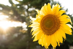 Yellow sunflower against the sky and green field with sunray