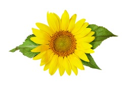 Yellow sunflower and green leaves isolated on white. Flat lay. Top view.
