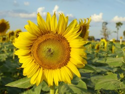 Yellow sunflower bloom beautiful. Style for art On the background, blurred sky, blue sky, white clouds Select some focus.