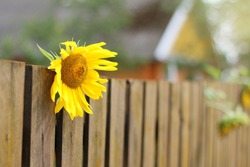 yellow sunflower flower behind the fence on the background of the silhouette of the house. bright autumn accent to decorate the yard