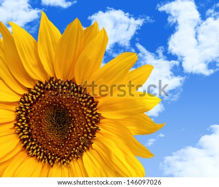Yellow Sunflower in close up on a Blue Sky Background