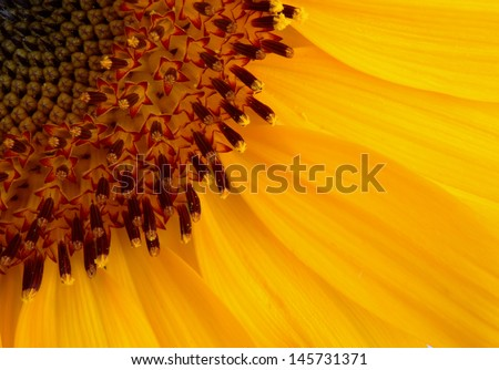 Yellow Sunflower in extreme close up
