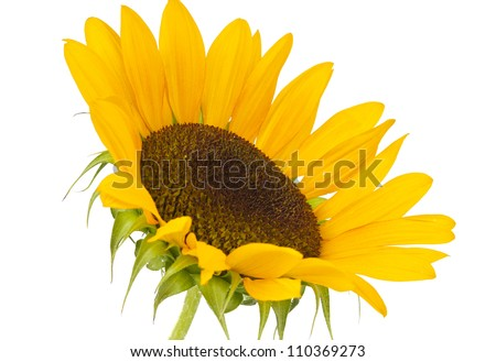 yellow sunflower isolated on a white background