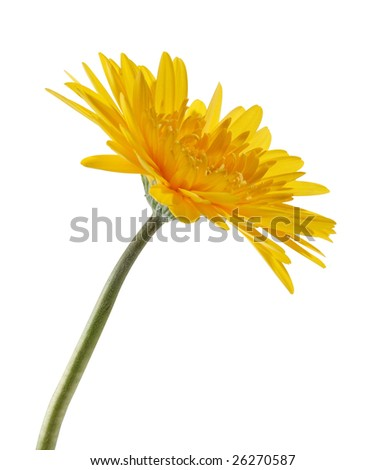 "yellow sunflower isolated on ""pure white"" background with ""path"""