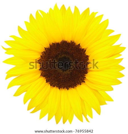 Yellow sunflower isolated on white background, clipping path included