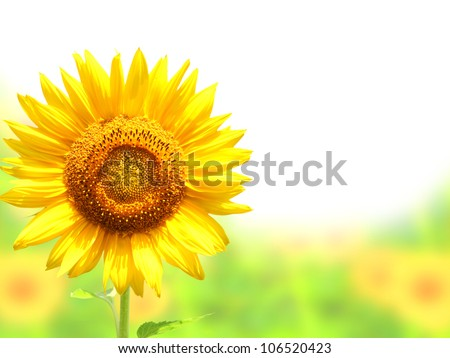 Yellow sunflower. Isolated over white