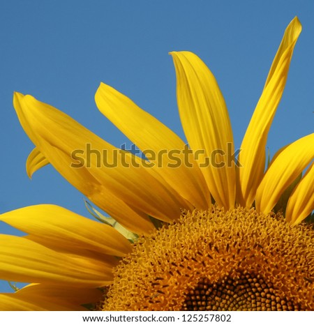 yellow sunflower leave pollen flower and blue sky and copy space , seed of petals flower background
