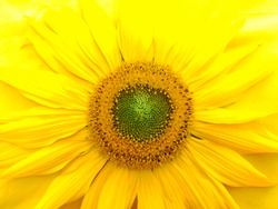 Yellow sunflower on a yellow background close-up. Flower background.