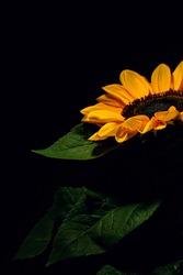 Yellow Sunflower on black background