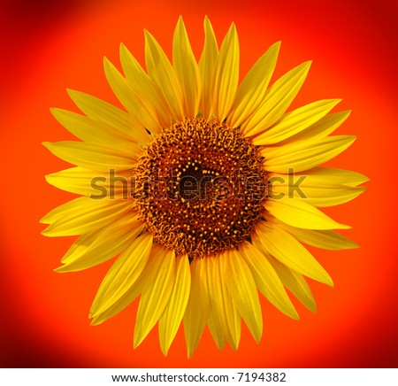 Yellow sunflower on orange background