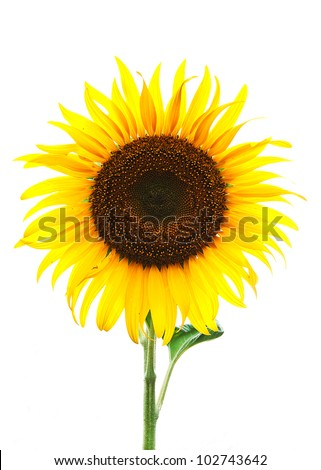 yellow sunflower on white background - stock photo