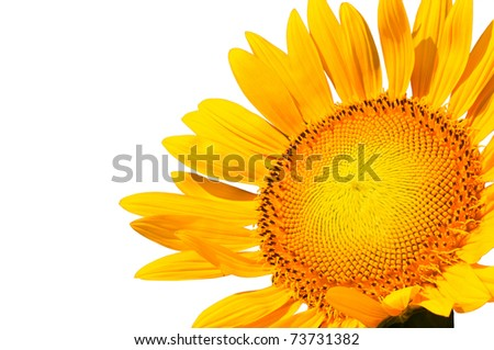 Yellow sunflower petal closeup, isolated on white