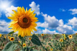 Yellow sunflowers against blue sky. Summer background.
