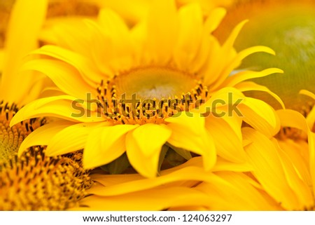 Yellow sunflowers closeup