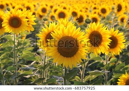 Yellow sunflowers. Field of sunflowers, rural landscape. #683757925