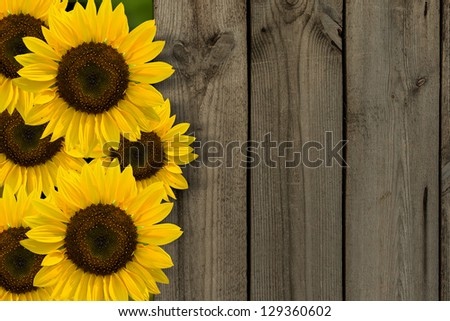 yellow sunflowers on background of old fence.