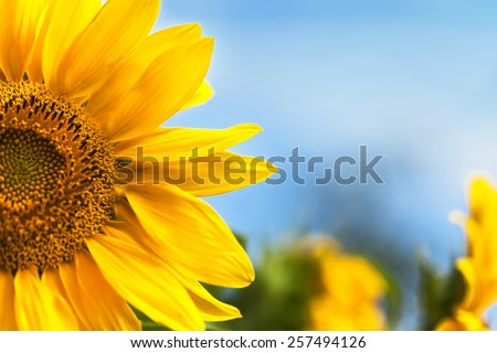 Yellow sunflowers on field and the blue sky