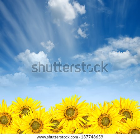 yellow sunflowers over blue cloudy sky background in summer