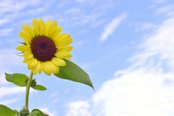 Yellow sunflowers, sunflowers have the sky as the background.