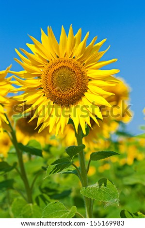 Yellow sunflowers with green leaves against the blue sky, floral agricultural background